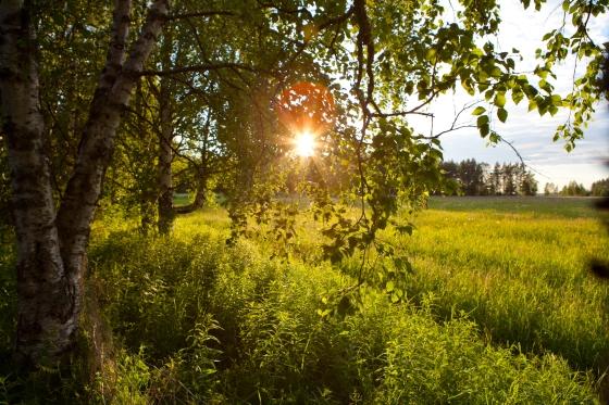 Auringolasku laitumella